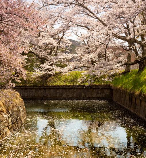 桜と水面の散り花02のフリー写真素材