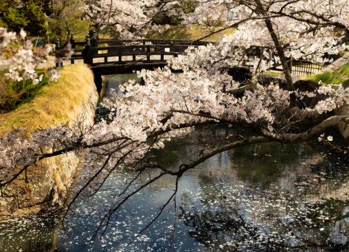 桜と橋と水面の散り花02のフリー写真素材