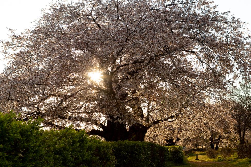 桜の木から見える夕日のフリー写真素材