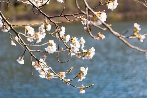 水辺に咲く桜のフリー写真素材