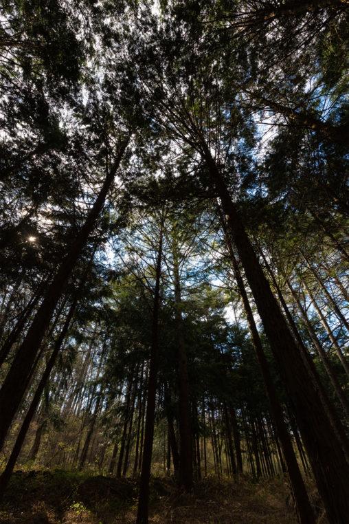 カラマツ林のフリー写真素材