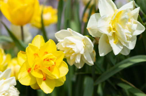 八重咲き水仙(ヤエザキスイセン)のフリー写真素材