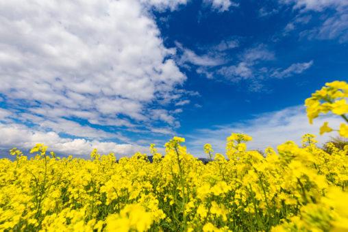 ダイナミックな空と菜の花畑のフリー写真素材