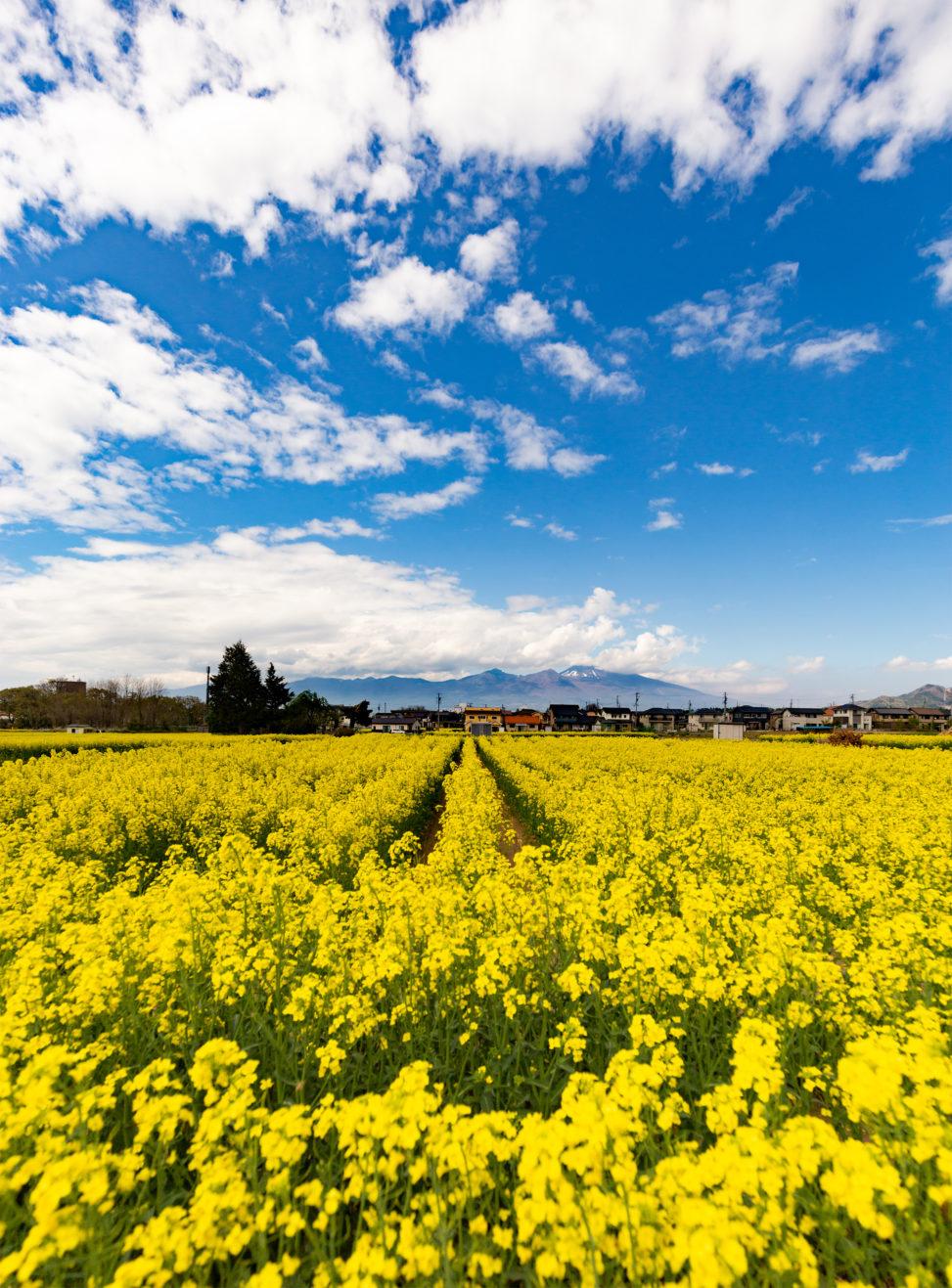 ダイナミックな空と一面の菜の花畑のフリー写真素材
