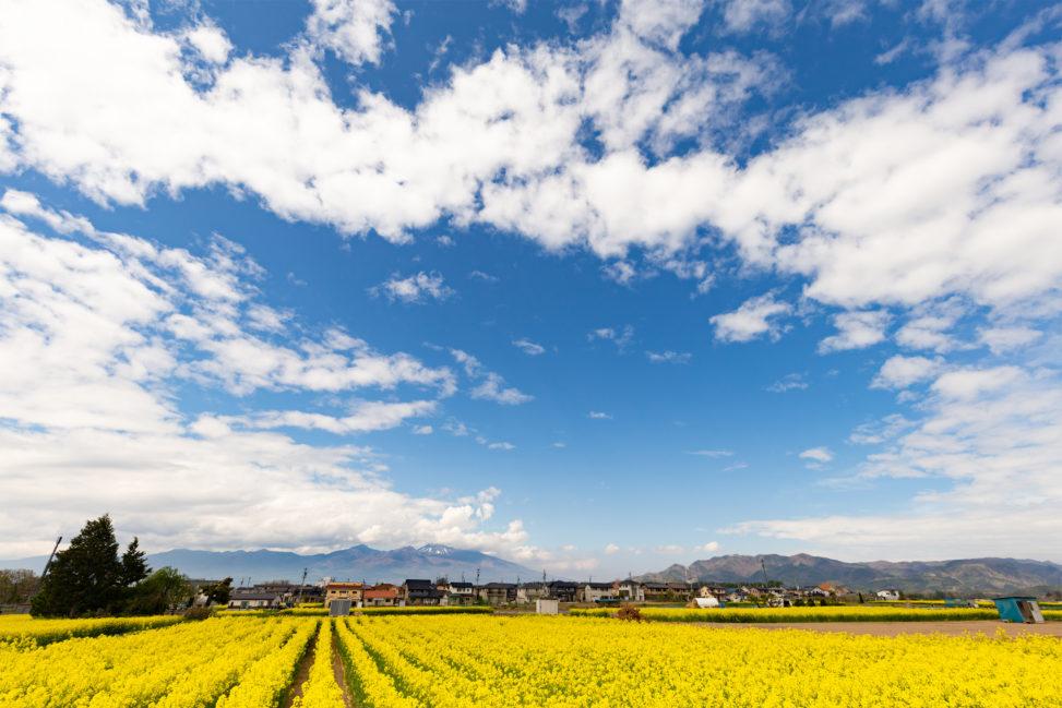 一面の菜の花畑と浅間山のフリー写真素材