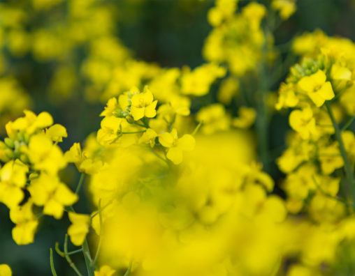 菜の花(ズーム)のフリー写真素材
