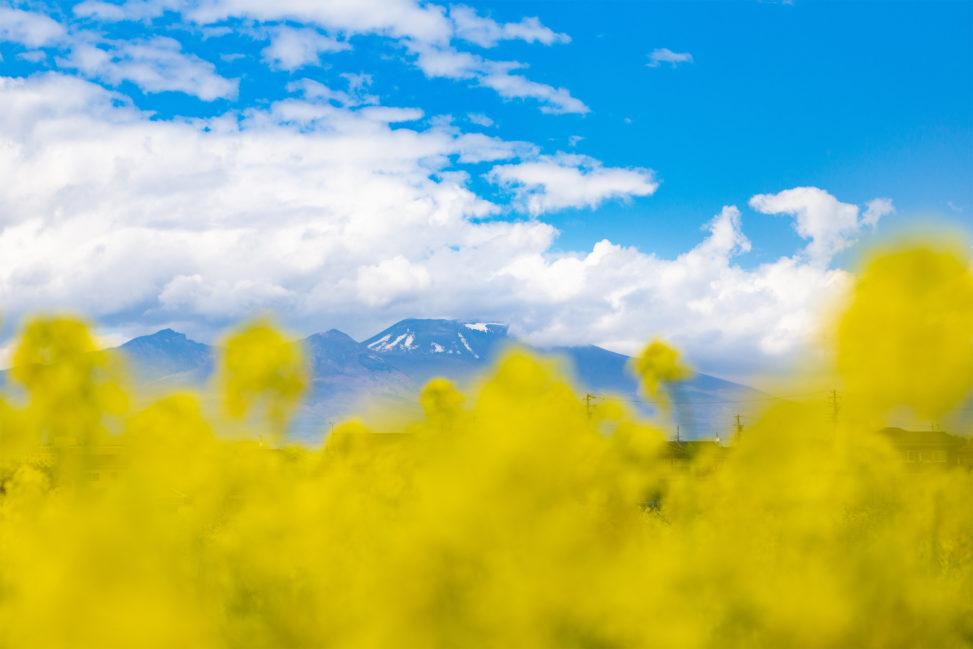 菜の花越しに見える浅間山のフリー写真素材