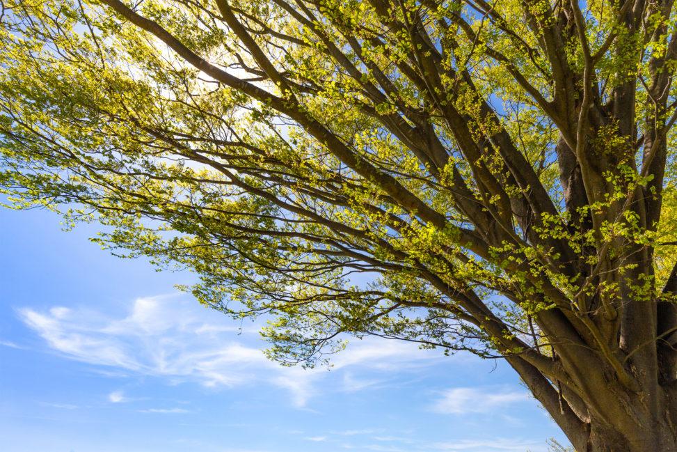 青空と欅の木のフリー写真素材