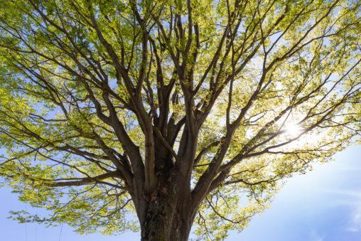 芽吹いた欅の木のフリー写真素材