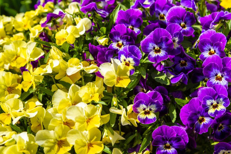 黄色と紫色のビオラ(ヴィオラ)のフリー写真素材