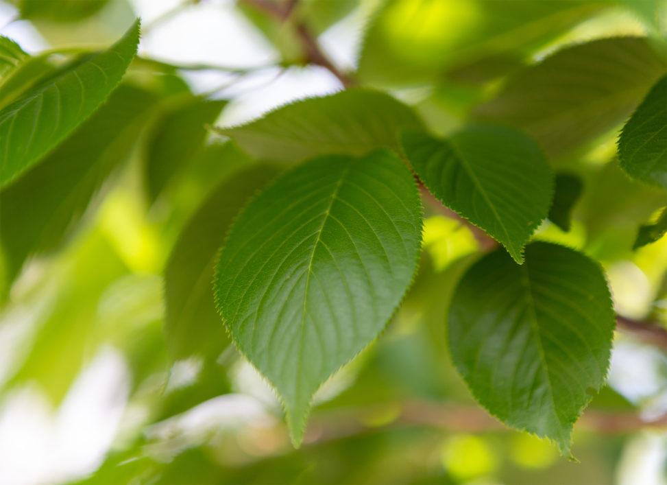 新緑の葉っぱのフリー写真素材