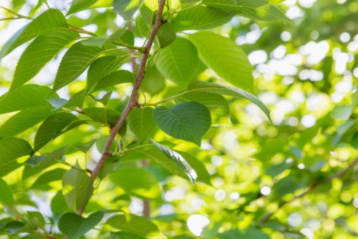 日差しと新緑の葉のフリー写真素材