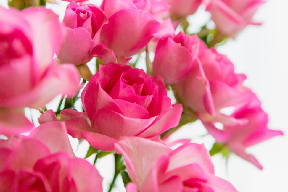 淡いピンク色のバラ(薔薇)の花のフリー写真素材