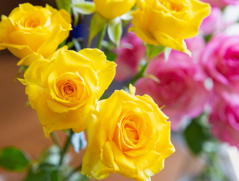 淡いピンクと黄色のバラ(薔薇)の花のフリー写真素材