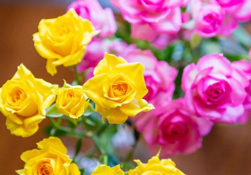 淡いピンクと黄色のバラ(薔薇)の花02のフリー写真素材