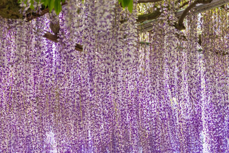 藤(フジ)の花のフリー写真素材