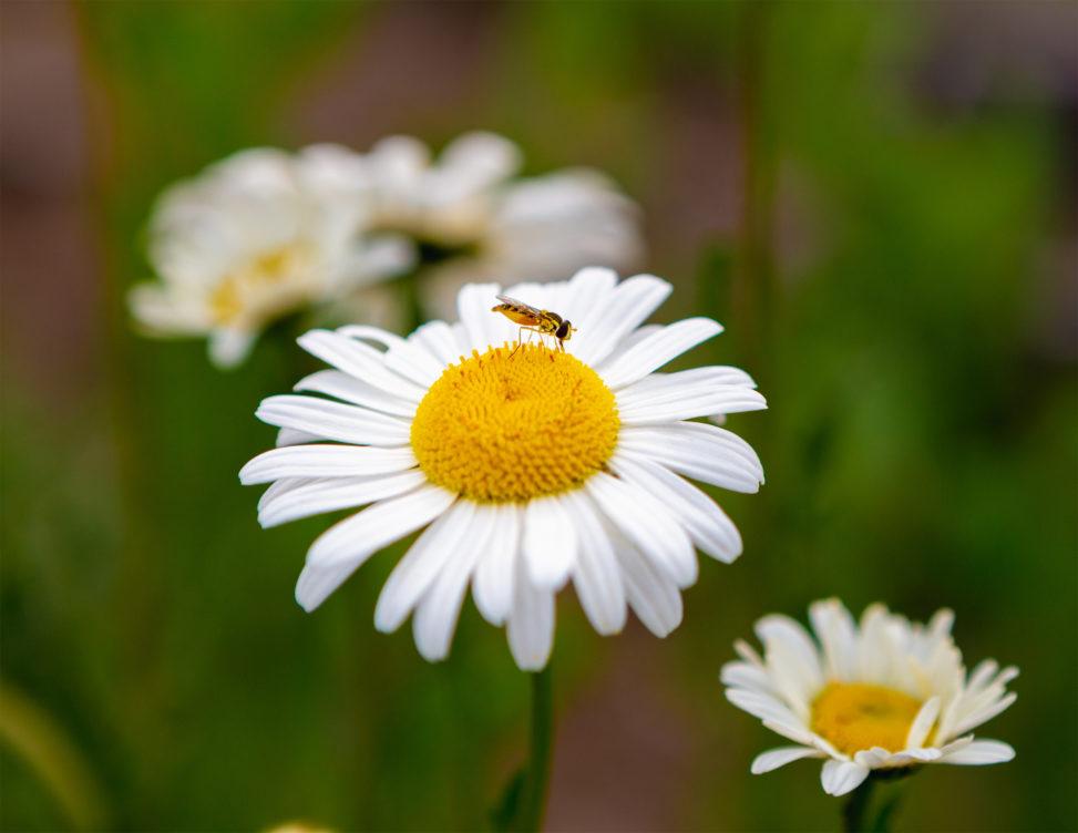 マーガレットと蜂のフリー写真素材