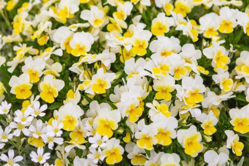 白と黄色のビオラ(ヴィオラ)のフリー写真素材