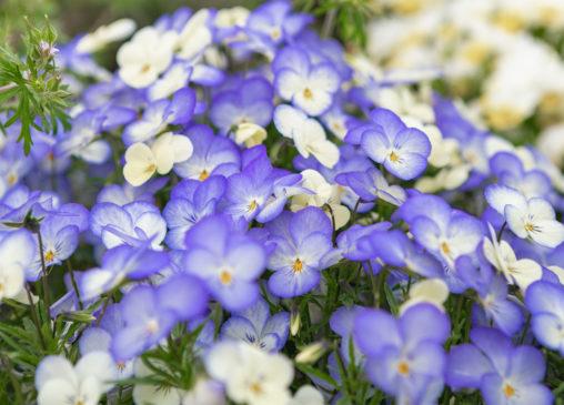 淡いブルーのビオラ(ヴィオラ)のフリー写真素材