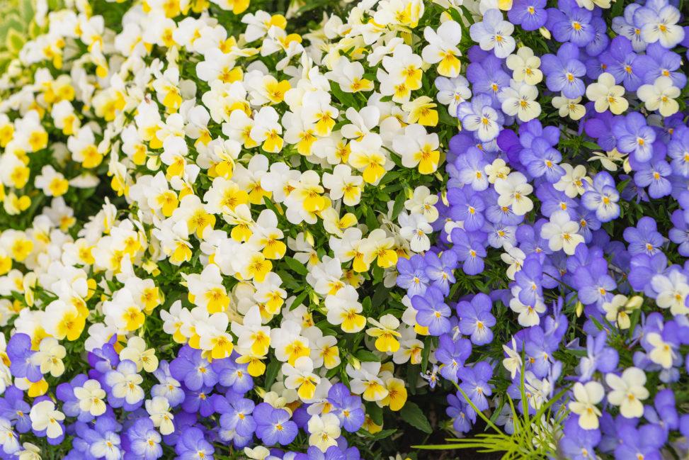 黄色と淡いブルーのビオラ(ヴィオラ)のフリー写真素材