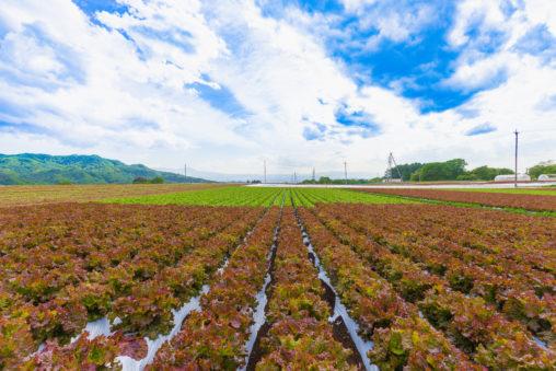 青空とサニーレタス畑のフリー写真素材