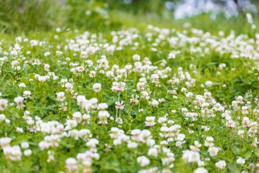 一面のシロツメクサ(白詰草)のフリー写真素材