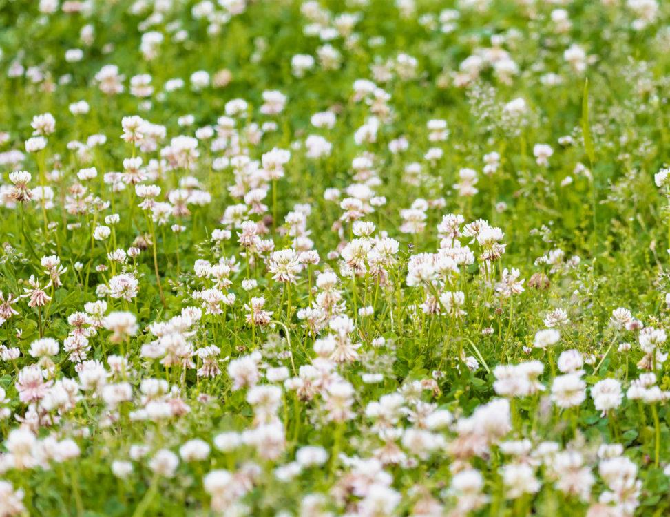 一面のシロツメクサ(白詰草)02のフリー写真素材