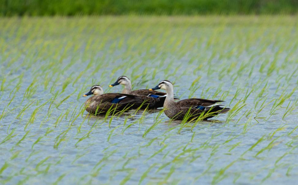 水田にいる合鴨(アイガモ)達のフリー写真素材