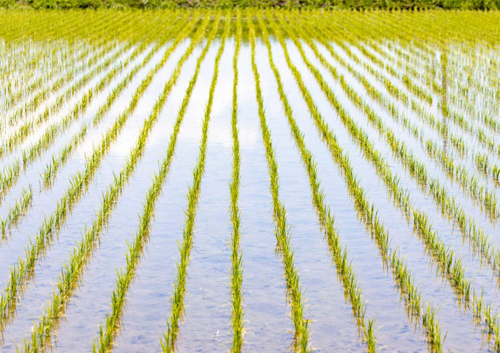 初夏の水田のフリー写真素材