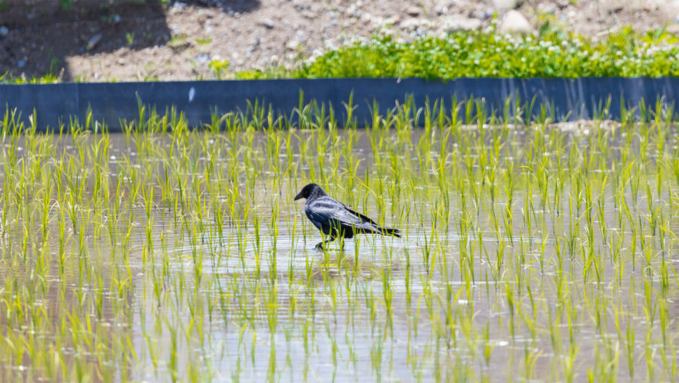 水田にいるカラス(烏)のフリー写真素材