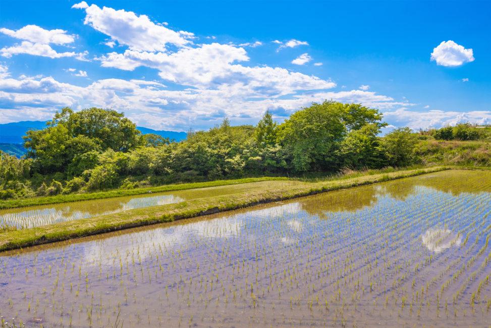 田植えをした田んぼの風景のフリー写真素材