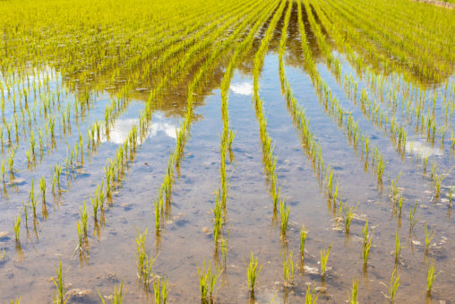 初夏の水田02のフリー写真素材