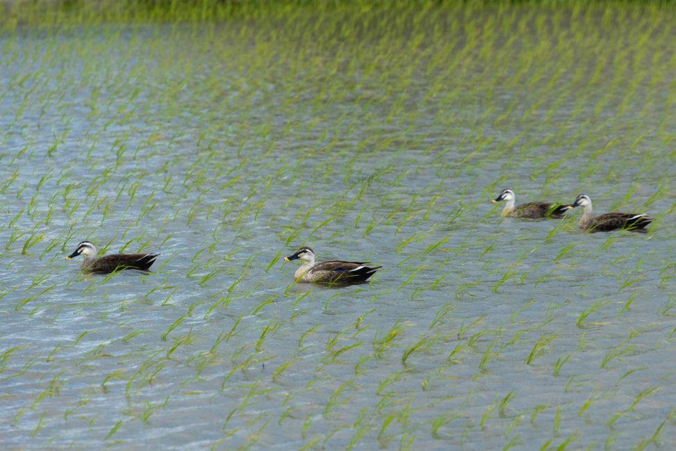 水田にいる合鴨(アイガモ)達02のフリー写真素材