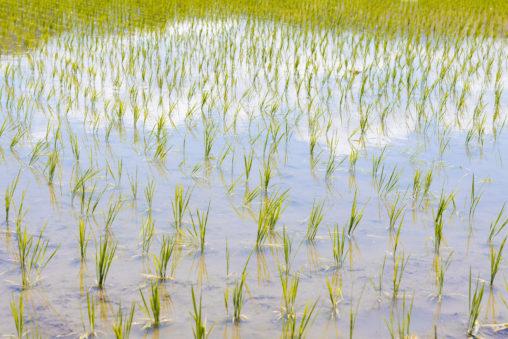 初夏の水田03のフリー写真素材