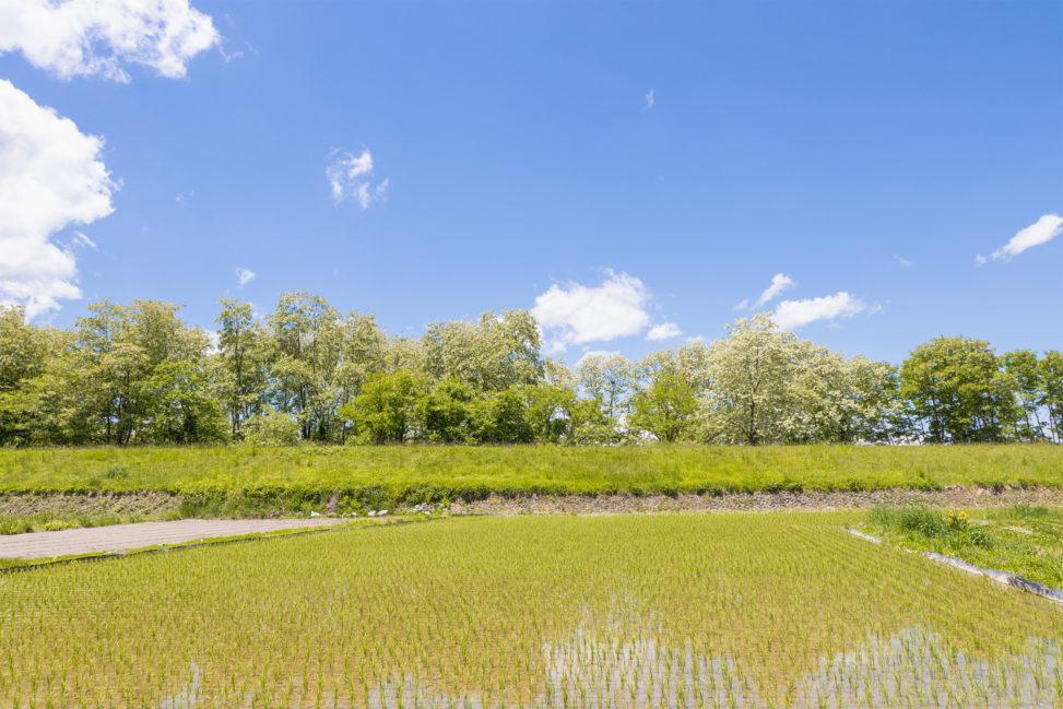 青空とアカシヤと水田のフリー写真素材
