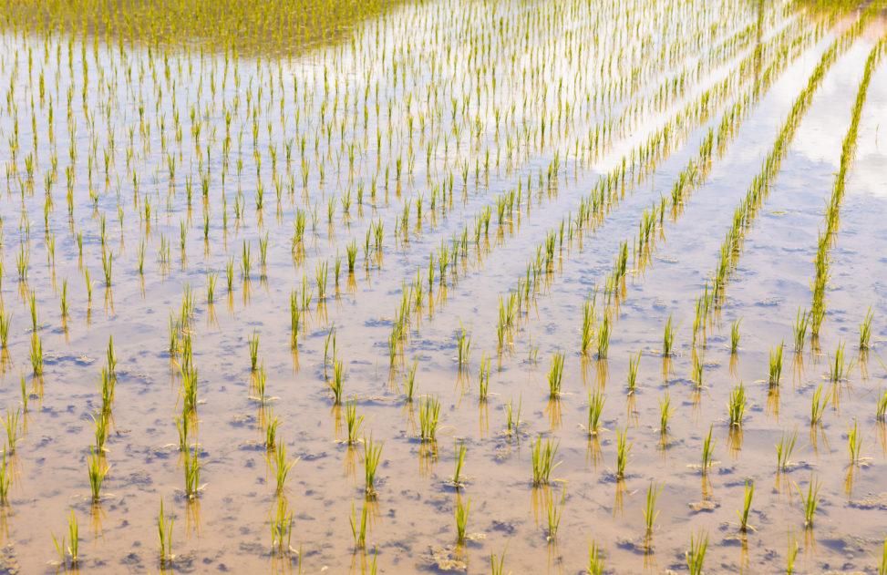 初夏の水田04のフリー写真素材