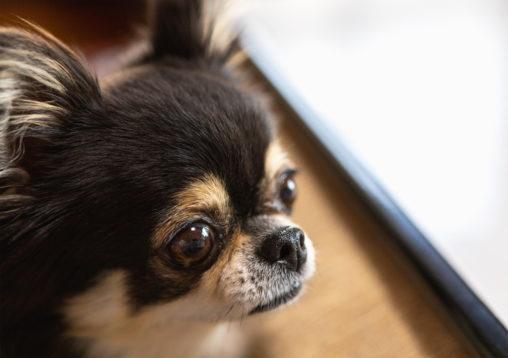 犬・チワワ05のフリー写真素材