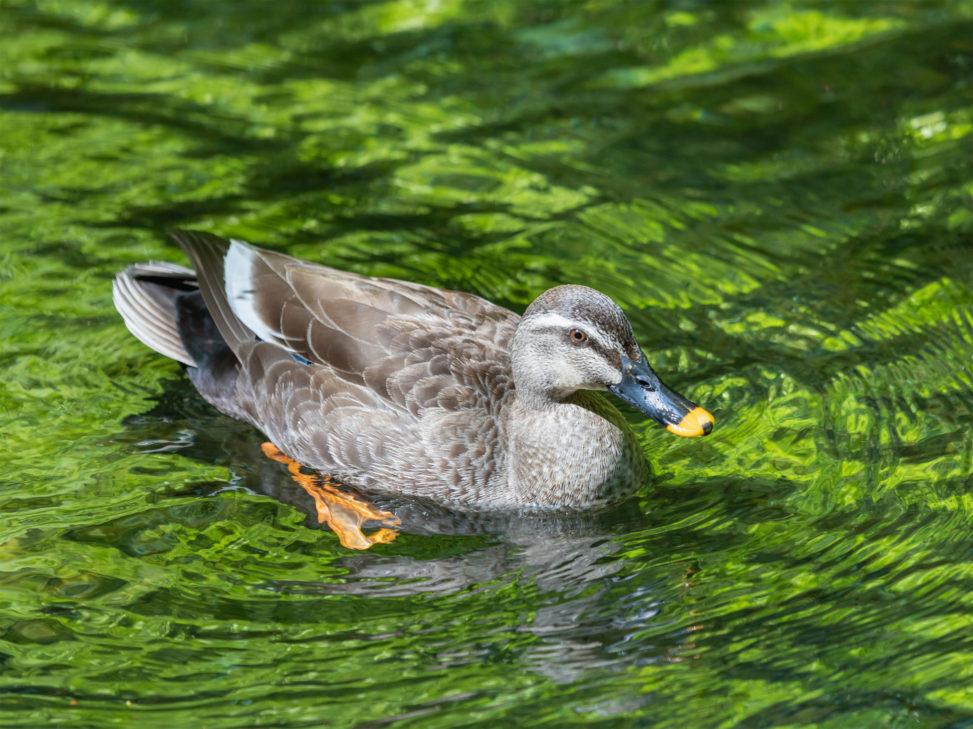 泳いでいるカルガモ03のフリー写真素材