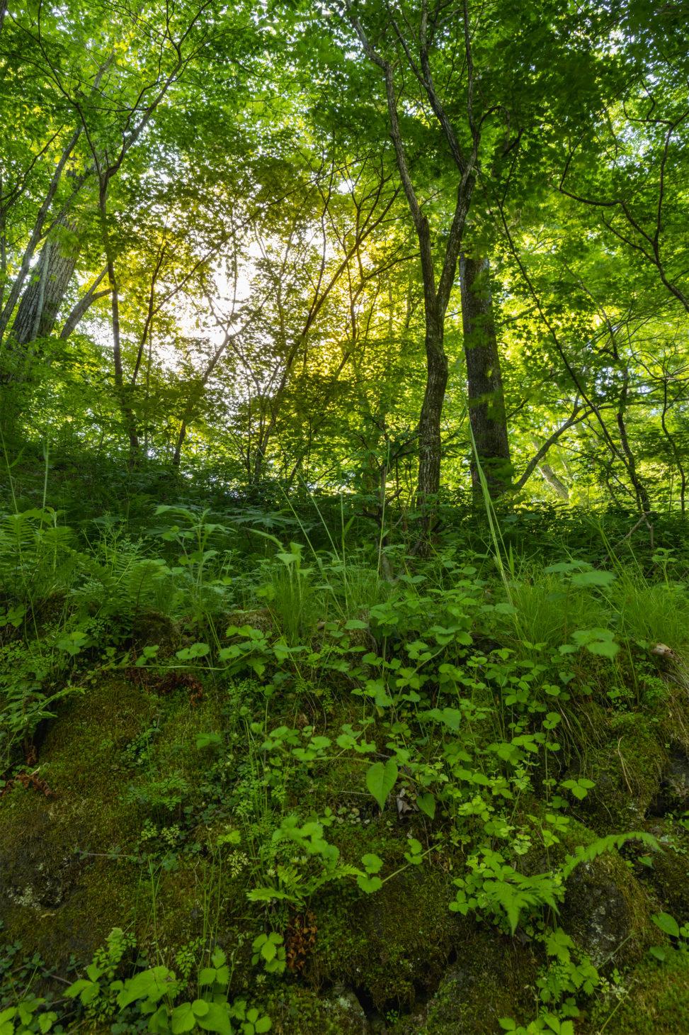 苔の石垣と緑鮮やかな森のフリー写真素材