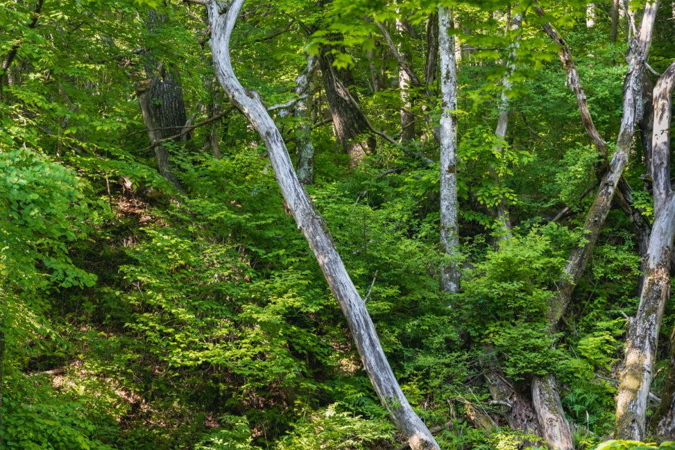 新緑の木立のフリー写真素材