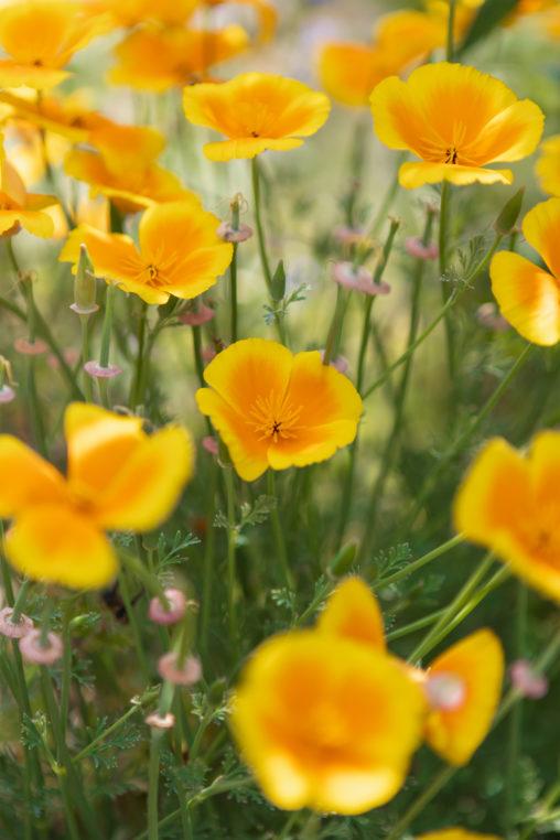 満開のハナビシソウ(カリフォルニアポピー)のフリー写真素材
