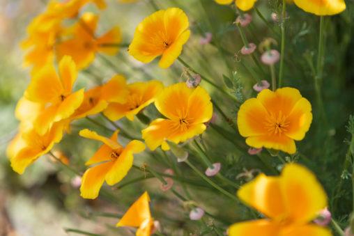満開のハナビシソウ(カリフォルニアポピー)02のフリー写真素材