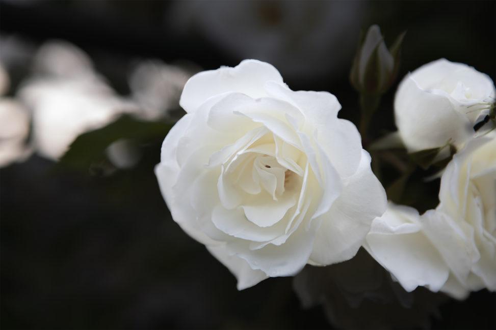 白いバラ(薔薇)のフリー写真素材