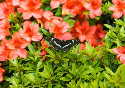 イチモンジチョウとレンゲツツジのフリー写真素材