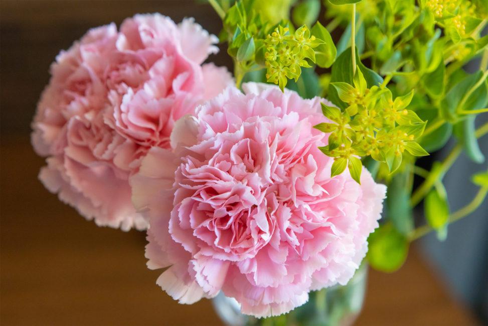 淡いピンク色のカーネーションのフリー写真素材