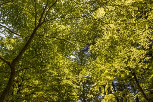 日差しと緑モミジのフリー写真素材