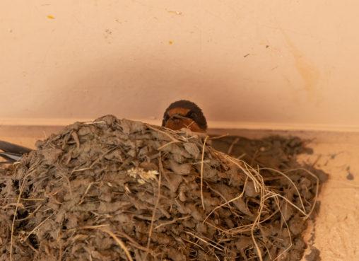 燕(ツバメ)の巣から顔を出す雛のフリー写真素材