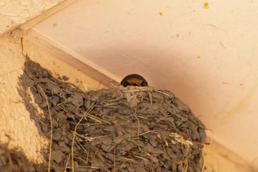燕(ツバメ)の巣から顔を出す雛02のフリー写真素材