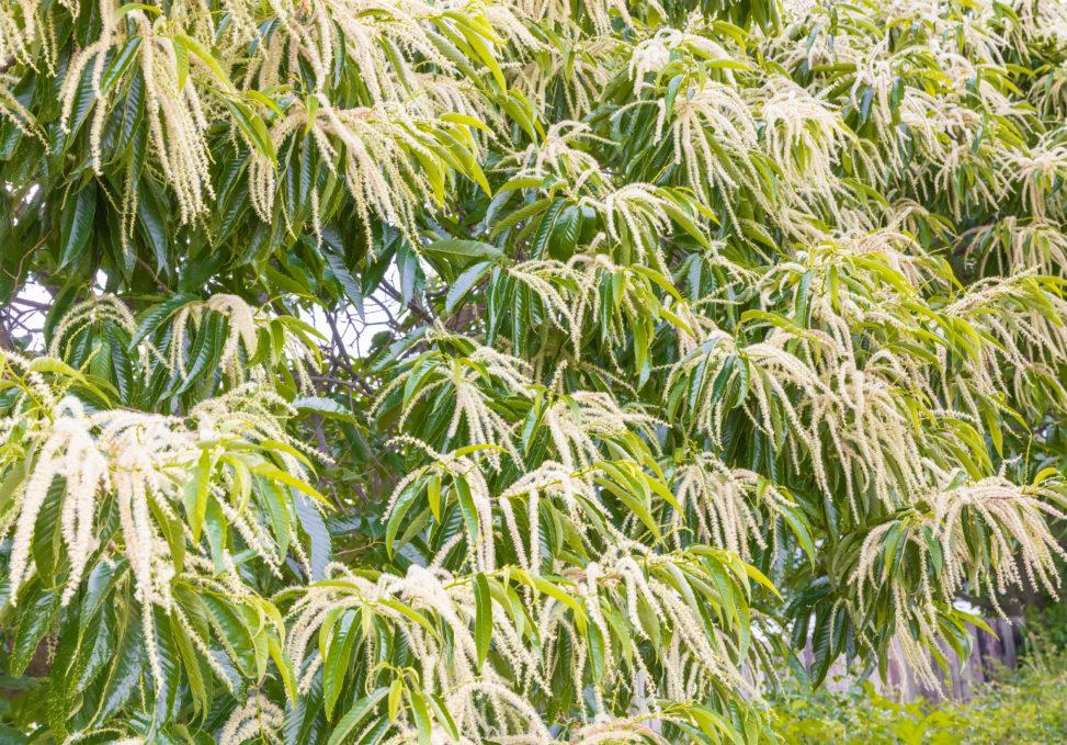 栗の花のフリー写真素材