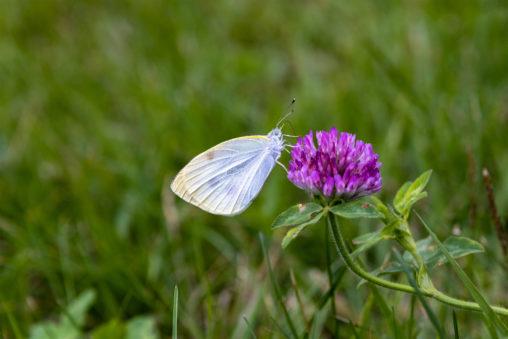モンシロチョウ(蝶々)とムラサキツメクサのフリー写真素材